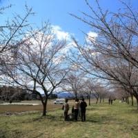 密蔵院の安行桜から北浅羽桜堤へ