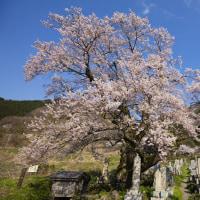 清水の桜 11