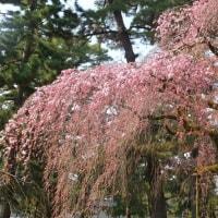 本日の京都御苑近衛跡の糸桜(3/29)