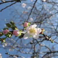 桜咲いてました