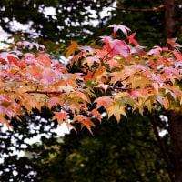 やっぱり紅葉は光の下・・紅葉三種