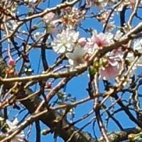 桜がさいた、ま!②(追記の追記)