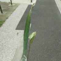 クジャクサボテンの茎節いただきました