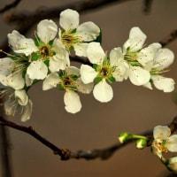 スモモの花。