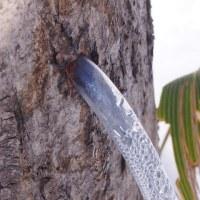 シラカンバ 樹液の採取