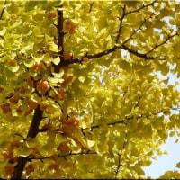 北大の銀杏並木