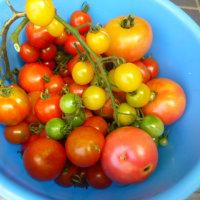 今年の夏野菜