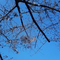 神田上水公園の桜(その2)