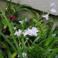 春も終盤、庭の花々も負けず続々