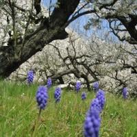 桜の花とムスカリの花