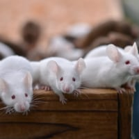 ネズミのメディスン