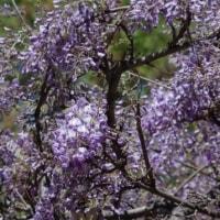 於大公園の花 : フジ ・・・ ゴルフコースの2か所にある藤棚が見頃になりクマバチが飛んでいました。
