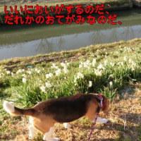 散歩道の水仙とシラサギさん