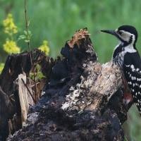 オオアカゲラの森