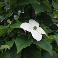 懐かしい白い花