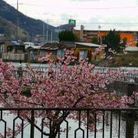 水島緑地福田公園の河津桜