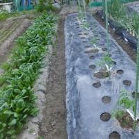 夏野菜の定植はベッタクソ。やっとトマトとスイカの植え付け終了、春菊を収穫し…