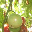 じじいの畑仕事 7/24 トマトの名産地?
