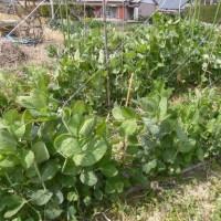 家庭菜園、今は収穫なし…しかし。