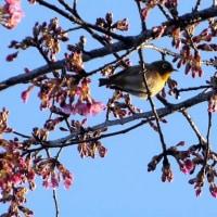 東京都小平市近郊2017年の早春・・河津桜にメジロ