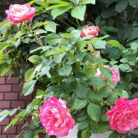 花だより・・・。『班入り薔薇』
