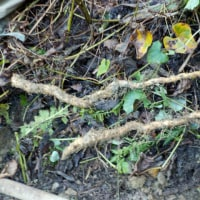 山芋掘り(その2終わり)