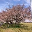 磯辺の桜_2017
