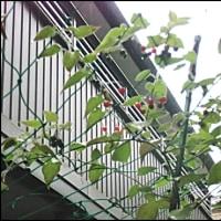 鵯上戸 ヒヨドリジョウゴ の グリーンカーテン出来た!