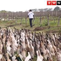 3ブドウ畑は俺たちが守る!1000羽を越えるアヒルたちが警備隊たちが群れをなして大活躍(南アフリカ)