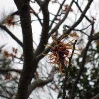 18日のちょこっと散歩で見た花。(マンサクとリュウキンカ)