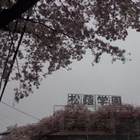 池ノ上界隈の桜 2017