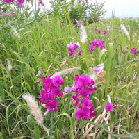 国営ひたち海浜公園2017年の初夏・・ハマエンドウの花