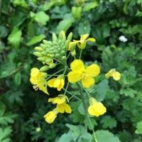 庭の花たち 2  菜の花