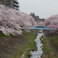 乞田河の桜