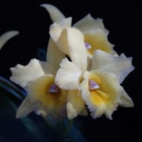 蘭 (花 4254)