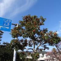 熱海桜は河津桜より早く咲いていました