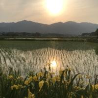 夕暮れのアヤメと田んぼ風景