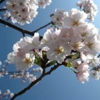 Sakura 2011