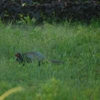 5月13日に見つけた巣は抱卵していなかった。