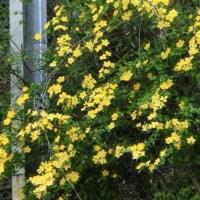 御衣黄と高野町の桜