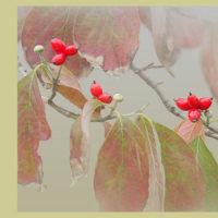秋色の花みずき