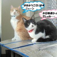 クマ新しい首輪嬉ちいでしゅ(#^.^#)トラも嬉しいだニャ~=^_^=