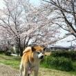 桜も見納め次は?