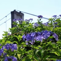 風の吊り橋と紫陽花
