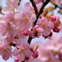 前松堂の桜