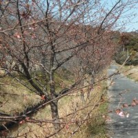 家代川堤防の河津桜