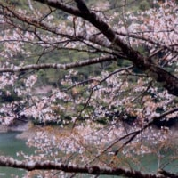 山桜が咲いた。さあ、渓へ行こう