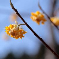 ミツマタの花(その1)、桐生川にて、2017年3月