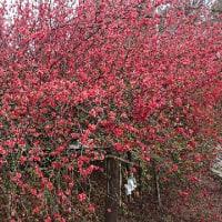 地元、冠稲荷神社のボケの花
