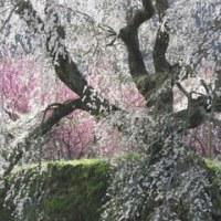 大和の桜の名所 「本郷の瀧桜(又兵衛桜)・吉野山」